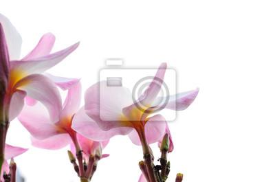 Bild Rosa Frangipani Blüten auf weißem Hintergrund