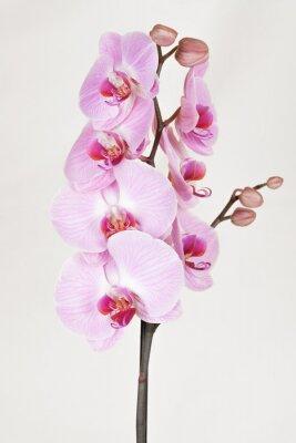 Bild Rosa gestreifte Orchidee