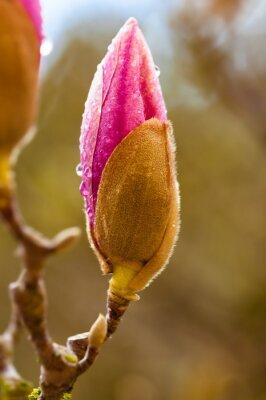 Bild Rosa Magnolienblütenknospe mit Regentropfen. Schließen Sie herauf Ansicht mit Hintergrundunschärfe