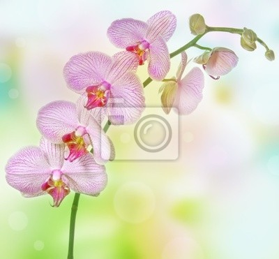 Bild rosa Orchidee Phalenopsis