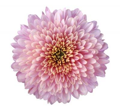 Rosa-rot-lila blume chrysantheme, garten blume, weiß isoliert ...