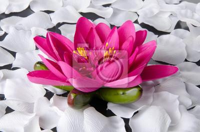 Bild Rosa Seerose mit weißen Blütenblättern
