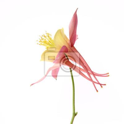 Rosa und gelbe columbine blume auf weißem hintergrund leinwandbilder ...