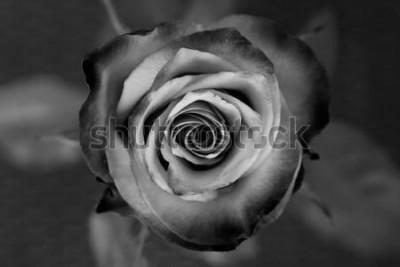 Bild Rose. Dekorative Schwarzweiss-Rose. Elegante romantische Blume.