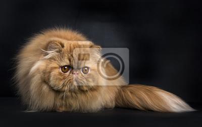 Rote persische Katze in der Jagd Pose isoliert auf schwarzem Hintergrund