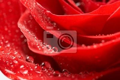 Bild rote Rose, Tropfen Wasser