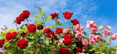 Bild Rote und rosa Kletterrosen.
