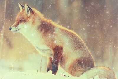 Bild Roten Fuchs im Winterwald Pretty