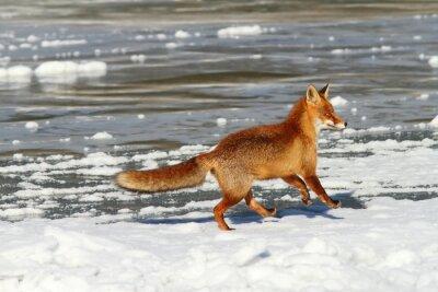 Bild Roten Fuchs läuft auf Eis