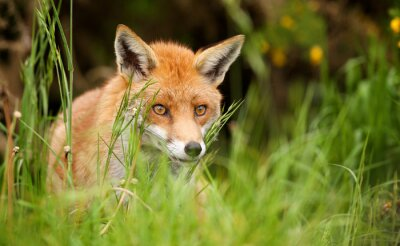 Bild roter Fuchs