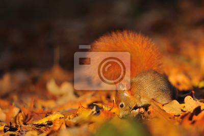 Bild Rotes Eichhörnchen auf die gefallenen Blätter