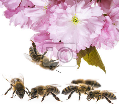 Bild Sakura-Blumen mit Honigbienenabschluß oben