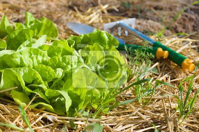 Salat wächst im Mulch