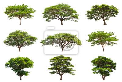 Sammlung von Regen Bäume (Samanea saman)