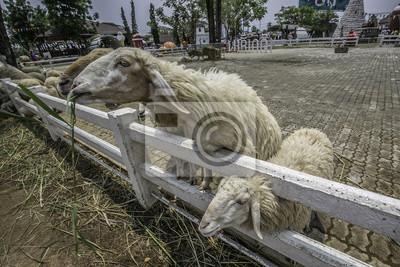 Schafe essen Gras