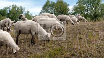 Schafe03