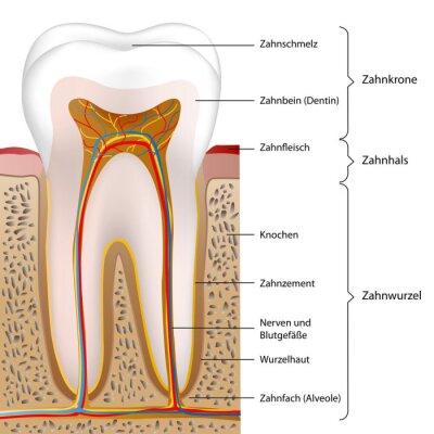 Schematische menschlichen zahn vektor-illustration eps10 ...