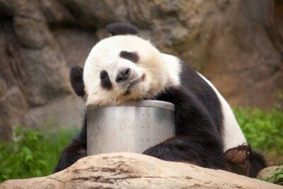 Bild Schlafender Panda