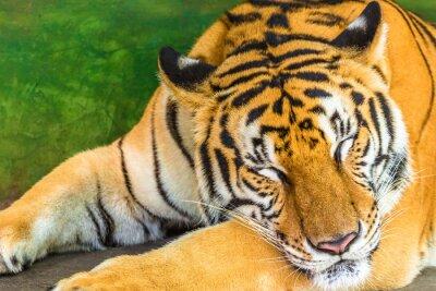 Bild Schließen Sie oben von einem großen Tiger, der im im Freien, Thailand, Asien schläft.