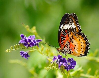 Bild Schmetterling auf eine violette Blume