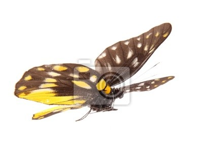 Bild Schmetterling Delias sanaca perspicua isoliert auf weiß