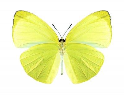 Bild Schmetterling Gandaca harina (male) (Unterseite)