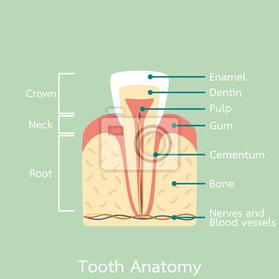 Schneidezahn zahn anatomie struktur einschließlich der knochen ...