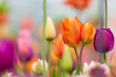 Bild Schöne Aussicht auf farbige Tulpen.