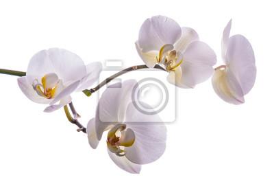 Schöne Blume Orchidee 4
