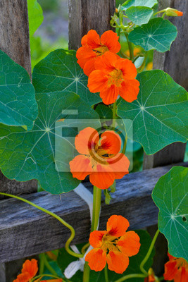 Schöne Blumen Von Kapuzinerkresse Nasturtium Pflanzen Im Garten