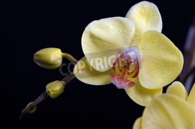 Bild Schöne bunte Blume Orchidee, Phalaenopsis auf schwarzem Hintergrund