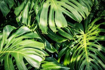 Bild Schöne grüne tropische Blätter Monstera