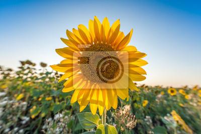 Schöne Landschaft mit Sonnenblumen Großansicht über blauen Himmel