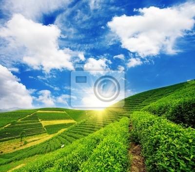 Schöne Muster von hellen, grünen Tee-Garten auf dem Hügel