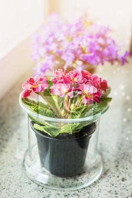 Schone Primel Blumen Im Topf Auf Fensterbank Haus Dekoration