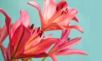 Bild Schöne rosa Lilien Hintergrund