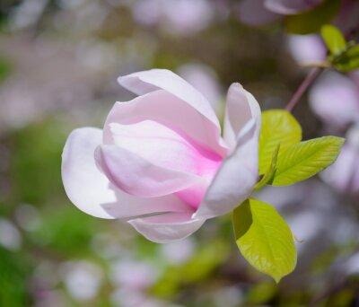 Bild Schöne Rosa Magnolien-Blumen. Frühling Hintergrund