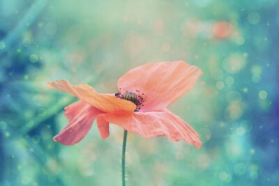 Bild Schöne rote Mohnblume in künstlerischen weichen Farben mit Bokeh Lichter