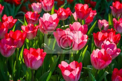 Schöne Rote Tulpe Im Garten Es Ist Eine Krautige Pflanze