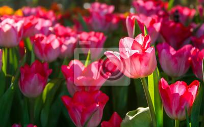 Schöne Rote Tulpe Im Garten Es Ist Eine Krautige Pflanze Mit