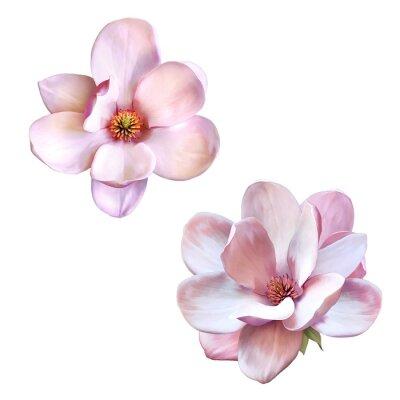 Bild Schönen Magnolien, isoliert Frühlingsblume
