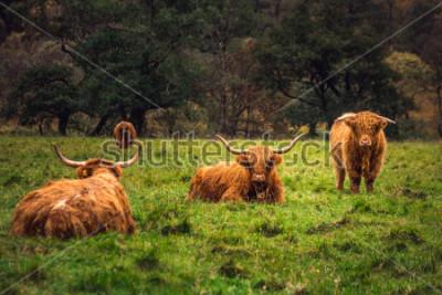 Bild Schottische Hochlandkuh auf dem Gebiet mit großen Hörnern und langem Haar, Schottland.
