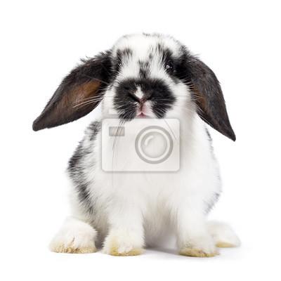 Schwarz-Weiß-Baby-Hase sitzt isoliert auf weißem Hintergrund