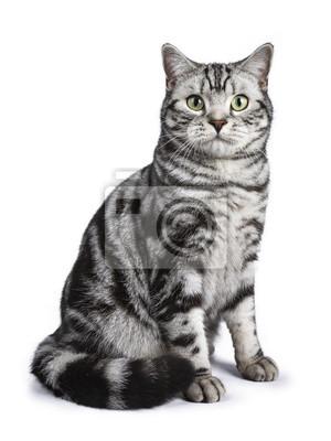Schwarze Tabby Britische Kurzhaarkatze sitzt gerade oben auf weißem Hintergrund Blick auf die Kamera