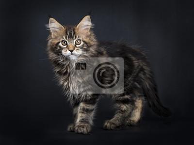 Schwarze Tabby Maine Coon Kätzchen (Orchidvalley) stand isoliert auf schwarzem Hintergrund Kamera vorne