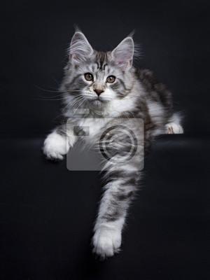 Schwarze Tabby Silber Maine Coon Kätzchen Verlegung isoliert auf schwarzem Hintergrund mit Pfote hängen über Rand