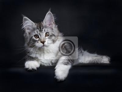 Schwarze Tabby Silber Maine Coon Kitten Verlegung Seitenwege auf schwarzem Hintergrund isoliert