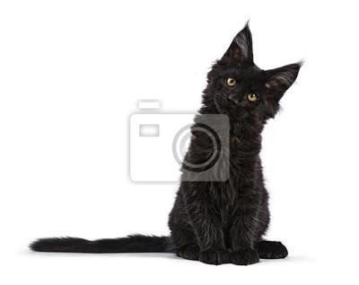 Schwarzes Maine Coon-Katzenkätzchensitzen lokalisiert auf weißer gegenüberstellender Kamera mit gekipptem Kopf