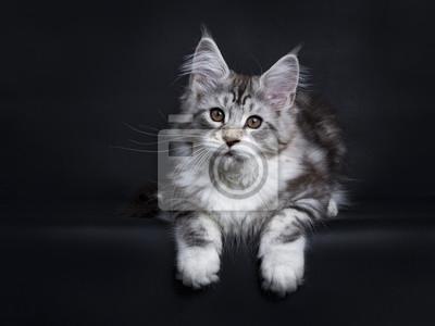 Schwarzes Tabby Silber Maine Coon Kätzchen Verlegung isoliert auf schwarzem Hintergrund