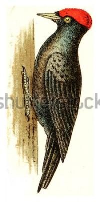 Bild Schwarzspecht, Jahrgang gravierte Darstellung. Aus dem Deutch Birds of Europe Atlas.